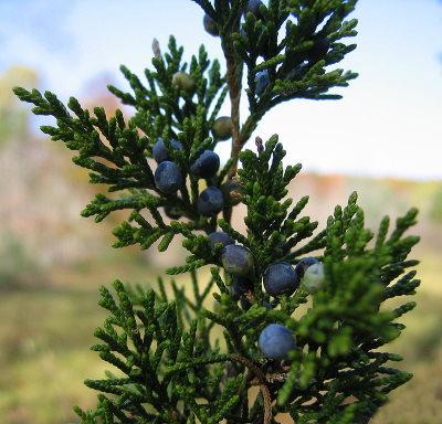 I benefici dell'olio essenziale di Albero Rosso
