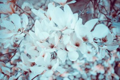 I benefici dell'olio essenziale di magnolia