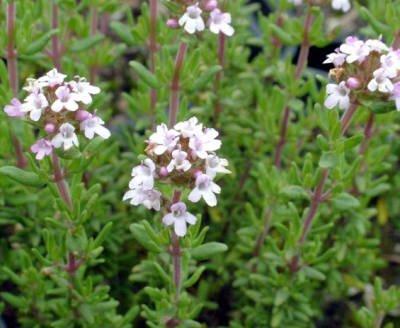 Thymus vulgaris - geraniolo