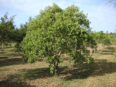 Santalum austrocaledonicum