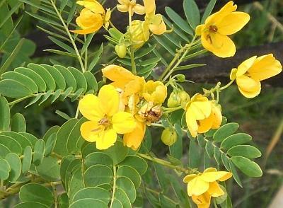 Cinnamomun aromaticum