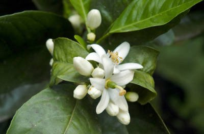 Citrus aurantium bigaradia