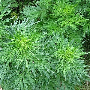 Artemisia pallens