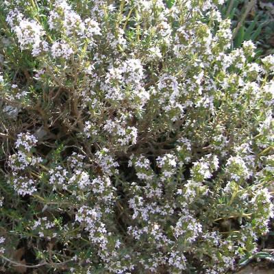 Thymus vulgaris - timolo