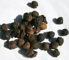 Frutti di Cinnamomum glaucescens