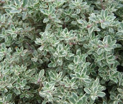 Thymus satureioides