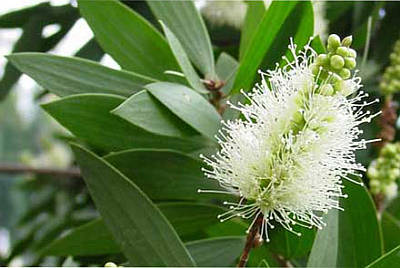 melaleuca-leucadendron