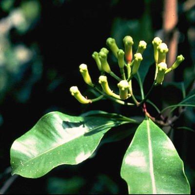 Syzigium aromaticum
