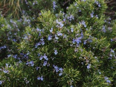 Rosmarinus officinalis sb verbenone
