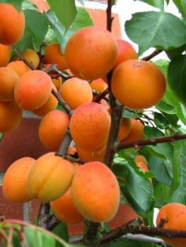 Prunus armeniaca