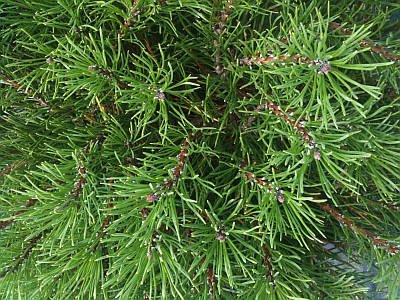Pinus pumilio var. mugo