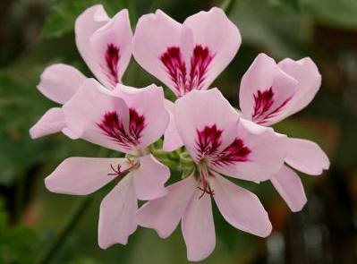 Pelargonium asperum var Bourbon