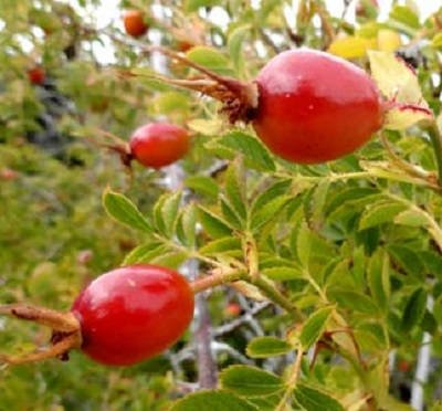Rosa Affinis rubiginosa
