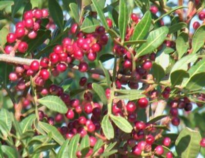 Myrtus communis - rosso