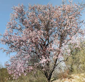 Prunus amygdalus dulcis