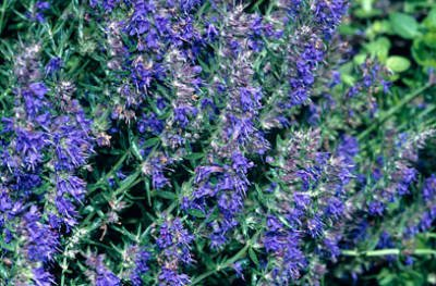 hyssopus-officinalis