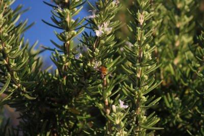 Rosmarinus officinalis ct canfora