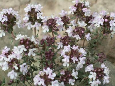 Thymus mastichina