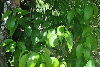 Foglie di Cinnamomum verum o zeylanicum